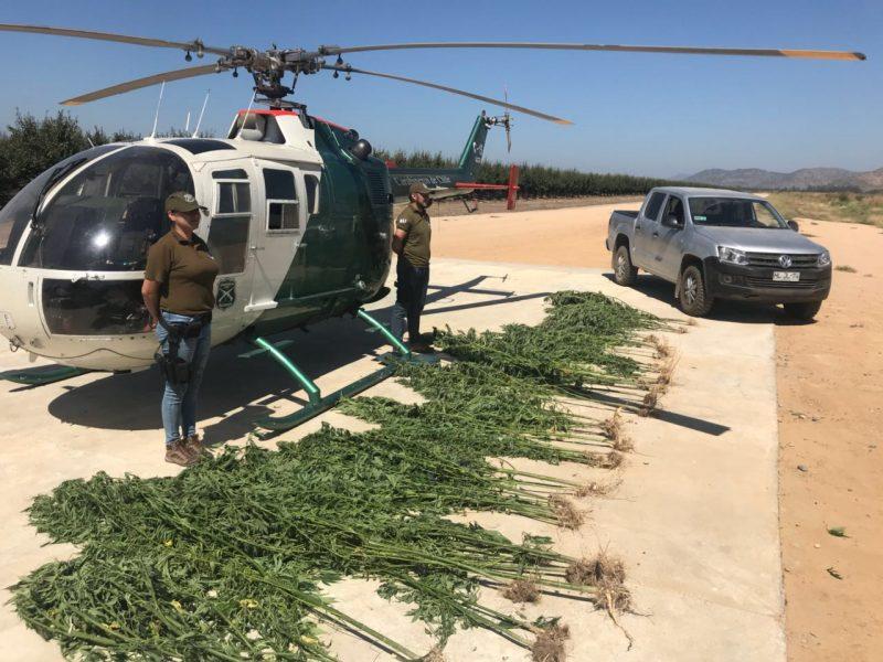 Incautan plantación de marihuana en cerros de Santa Cruz