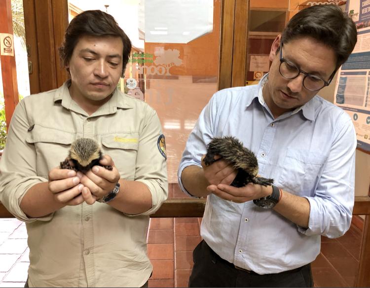 Pequeños quiques son rescatados desde la Reserva Cipreses
