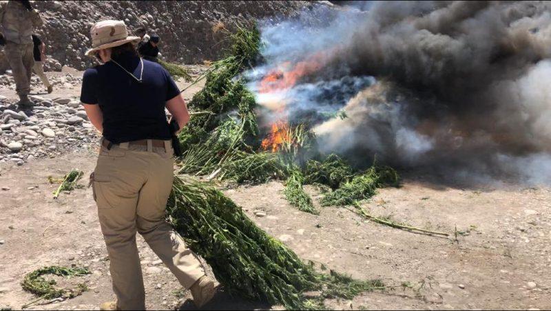 Incautan cerca de 4 mil matas de marihuana en Machalí y otras tres comunas